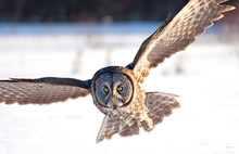Great Grey Owl With Wings Spre...