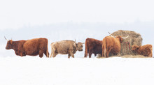 Highland Cattle Feeding In A S...