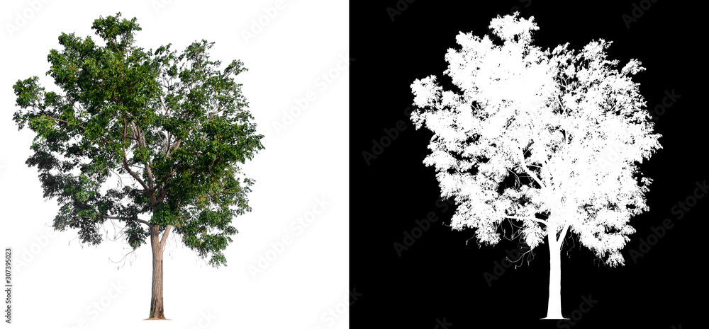 Fototapety, obrazy: isolated tree on white background with clipping path