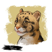 Clouded Leopard Baby Tabby Neofelis Nebulosa Wild Cat From Himalayan, Asian China. Digital Art Illustration Of Mainland Clouded Leopard Or Sunda Clouded Leopard, Hunting Season Wildcat Portrait.