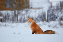 Red Fox In The Snow Background