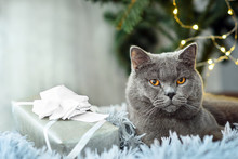 Gray British Cat With Christmas Gifts On Holiday Theme