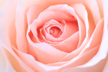 Close Up Pink Rose Flower Soft...
