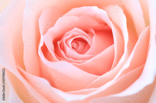 Fototapeta close up pink rose flower soft focus and copy space. obraz