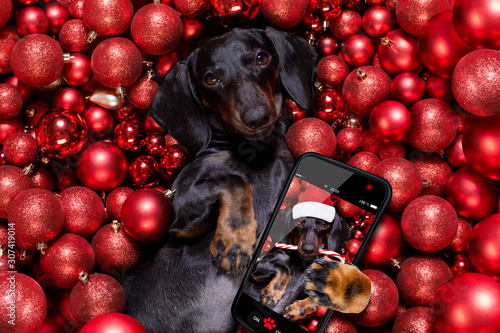 Foto op Canvas Crazy dog christmas santa claus dog and xmas balls or baubles as background