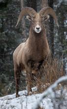 Bighorn Sheep In Kootenay Nati...