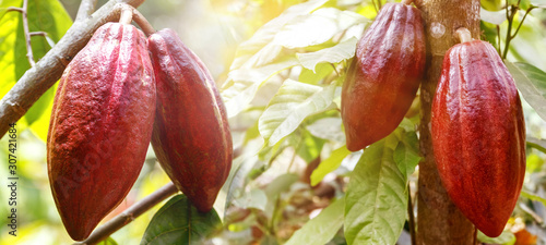Fotomural Fruits of ripe cocoa in the rainforest