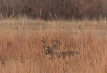 Whitetail Deer Buck In Tall Gr...