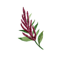 Watercolor Drawing Amaranth Pl...