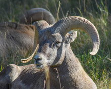 Dall Sheep In The Black Hills