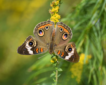 Common Buckeye On Goldenrod