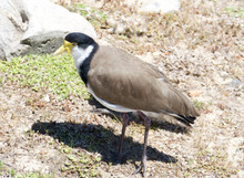 The Masked Lapwing (Vanellus Miles), Also Known As The Masked Plover. Sydney, Australia.