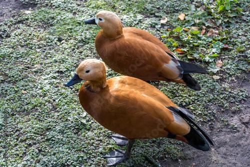 Photo Ruddy Shelduck or Brahminy Duck (Tadorna ferruginea)