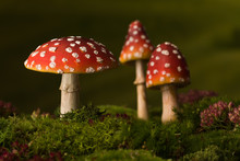 Three Toadstools Fairy Background