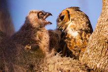 Juvenile Great Horned Owl Squa...