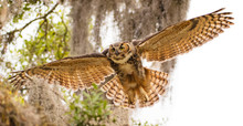 Adult Great Horned Flies Down ...