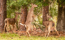 White-tailed Deer Up On Hind Legs To Feed