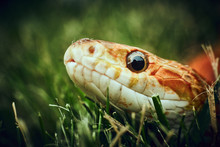 Curious Snake In The Grass Looking Into Camera