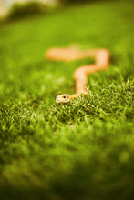 Curious Snake Crawling In The ...