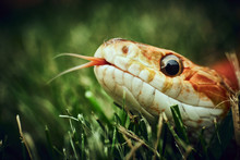 Curious Snake In The Grass Loo...