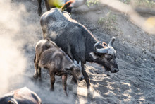 Female African Buffalo With Calf Walking Down A Dusty Slope