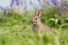 Wild Rabbit In A Field On Staffa Island