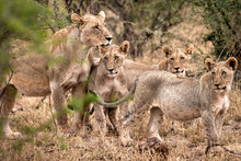 A Lioness And Three Juveniles