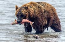 Brown Bear And Salmon