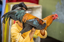 Colorful Rooster Being Sold In...