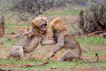 Two Male Lions Fight Over A Li...