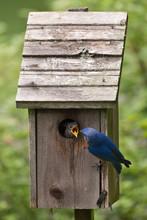 Bird Feeding Chick In Birdhouse