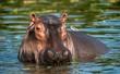 canvas print picture - Common hippopotamus in the water. The common hippopotamus (Hippopotamus amphibius), or hippo. Africa