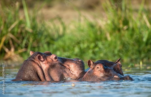 Hippopotamus in the water Fototapet