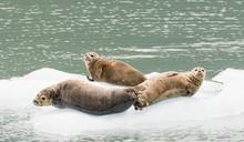 Seals On Ice Floe