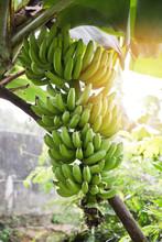 Bunch Of Bananas On Tree