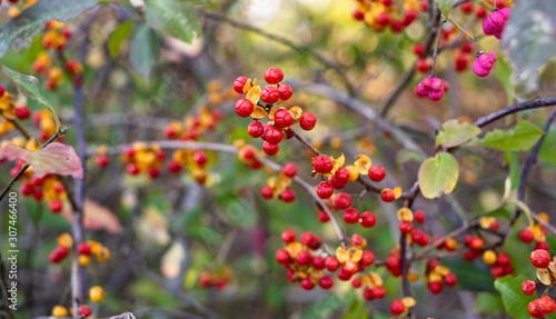 Photo Red Oriental Bittersweet Berries on a Vine