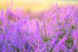 canvas print picture - Heide im Spätsommer - flowering Heather, Calluna vulgaris in the morning