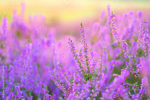 Heide im Spätsommer - flowering Heather, Calluna vulgaris in the morning Canvas Print