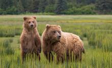 Bears On Meadow