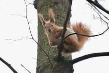 Red Squirrel From The Park Close-up