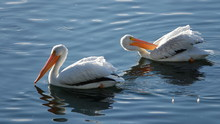 Two American White Pelicans (P...