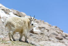 Mountain Goat In The Rocky Mou...