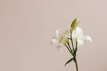 White Lilies In Front Of Pink Wall