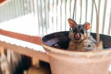 Australian Native Possum In A ...