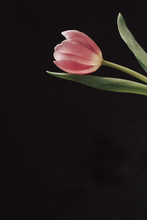 Tulip Flower On Black Background With Copy Space