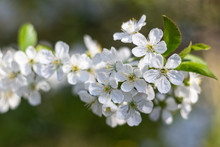 Branch Of Sour Cherry Blossoms In Full Bloom
