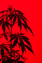 Marijuana Plant Shot Inside A ...