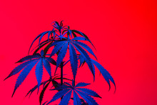 Marijuana Plant Shot Inside A ...