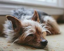 Sleeping Yorkshire Terrier Dog