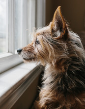 Close Up Of A Yorkshire Terrier Dog Looking Out Window